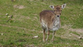 Unga kvinnliga hjortar på ängen som ser nyfiken arkivbilder