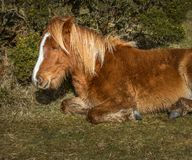 Unga lösa Pony Snoozing, Bodmin hed, mitt- Cornwall royaltyfri bild