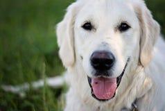 Unga Labrador Royaltyfri Fotografi