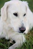 Unga Labrador Fotografering för Bildbyråer