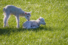 Unga lamm i vår Royaltyfri Bild