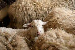 Unga lamm och vuxna får Royaltyfria Foton