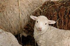 Unga lamm och vuxna får Royaltyfria Bilder