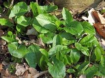 Unga leaves av Arummaculatumen var. immaculatum Arkivfoto