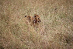 Unga lejon i det långa gräset Royaltyfria Bilder