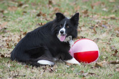 Unga lekar för Shetland fårhund med övningsbollen Arkivbilder