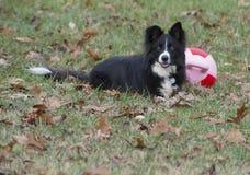 Unga lekar för Shetland fårhund med övningsbollen Arkivbild