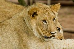 unga lions Royaltyfria Bilder