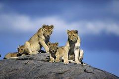 unga lions Arkivbilder