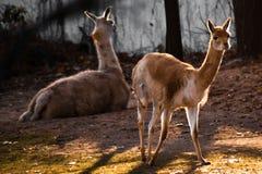 Unga llamastands i panelljus, ett ungt spensligt djur på arkivbild