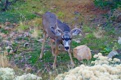 Unga male hjortar Royaltyfri Foto