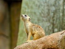 Unga Meerkat Fotografering för Bildbyråer
