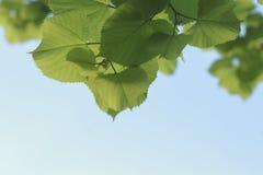 Unga nya gröna sidor av lindträdet mot himlen Arkivfoto