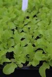 Unga Oakleaf grönsallatväxter Arkivbilder