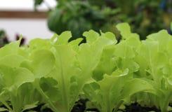 Unga Oakleaf grönsallatväxter Arkivbild