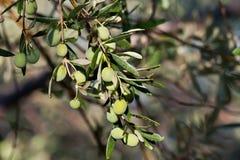 Unga oliv på en filial efter regn Royaltyfria Bilder