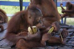 Unga orangutang som äter och spelar Royaltyfri Bild