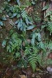 Unga ormbunkar och mossa som växer i en rainforest Fotografering för Bildbyråer
