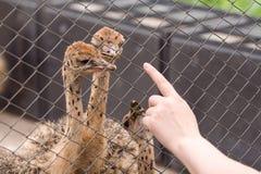 unga ostriches Royaltyfri Bild