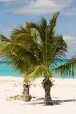 unga palmträd Royaltyfri Bild