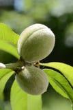 Unga persikor i solen Fotografering för Bildbyråer