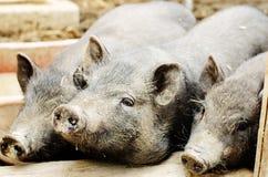 unga pigs Royaltyfri Foto