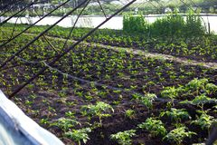 Unga plantor av peppar och tomater i det jordbruks- växthuset royaltyfri bild
