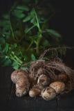 Unga potatisar med jord Arkivfoton