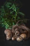 Unga potatisar med jord Arkivfoto
