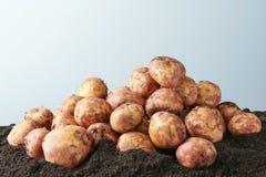 Unga potatisar på jordning Royaltyfria Foton