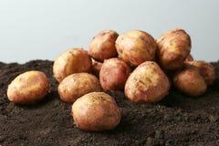 Unga potatisar på jordning Royaltyfri Foto