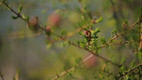 Unga prydliga knoppar blommar på filial av en barrträdcloseup