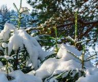 Unga prydliga träd täckas med vit snö arkivfoto