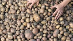 Unga rå potatisar Handpeelpotatisar Närbild stock video