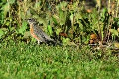 Unga röda Robin Songbird royaltyfri foto