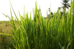Unga risöron i det gröna fältet Arkivbilder