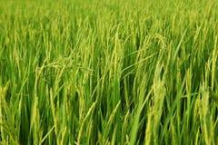 Unga risöron i det gröna fältet Arkivfoto