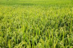 Unga risöron i det gröna fältet Fotografering för Bildbyråer