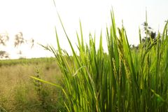 Unga risöron i det gröna fältet Royaltyfri Bild