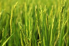 Unga risöron i det gröna fältet Arkivbild