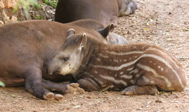 Unga söder - amerikansk tapir royaltyfri fotografi