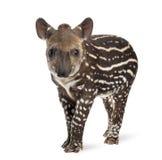 Unga söder - amerikansk tapir, 41 gamla dagar Royaltyfri Fotografi