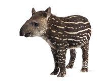 Unga söder - amerikansk tapir som isoleras, 41 gamla dagar Fotografering för Bildbyråer