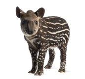 Unga söder - amerikansk tapir som isoleras, 41 gamla dagar Arkivfoto