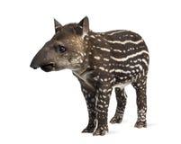 Unga söder - amerikansk tapir som isoleras, 41 gamla dagar Royaltyfria Bilder