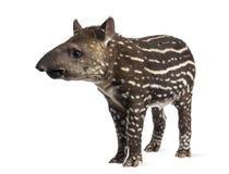 Unga söder - amerikansk tapir som isoleras, 41 gamla dagar Royaltyfri Bild