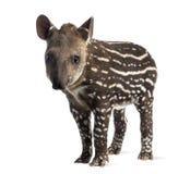 Unga söder - amerikansk tapir som isoleras, 41 gamla dagar Arkivbilder
