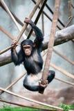 Unga schimpanspannagrottmänniskor som hoppar och spelar med rep Royaltyfria Foton
