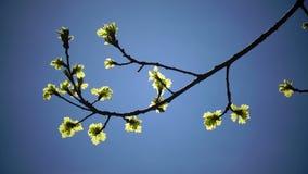 Unga sidor av en ek mot bakgrunden av den blåa sol- vårhimlen bakgrundsbluen låter vara oakskyen green låter vara oaken Solstråla lager videofilmer