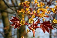 Unga sidor av lönn som på våren växer mot suddiga träd arkivfoton